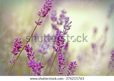 Beautiful lavender flower in flower garden - stock photo