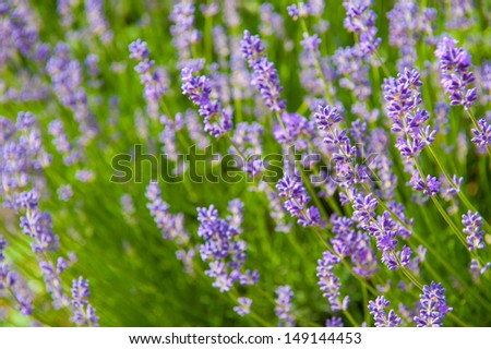 Beautiful lavender flowers with shallow DOF - stock photo