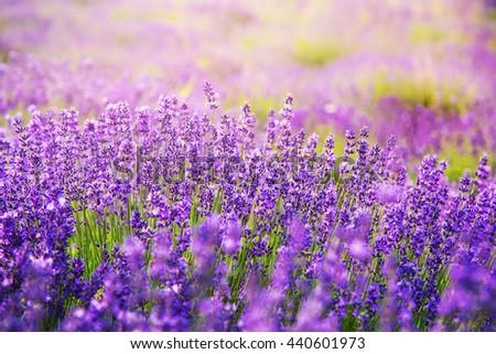Beautiful lavender in sunlight - stock photo