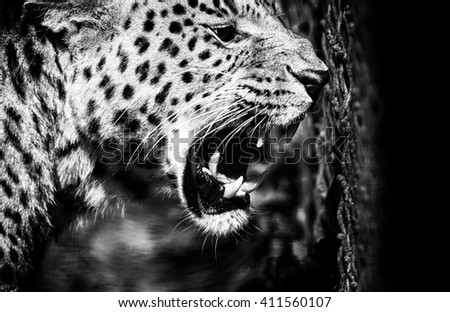 beautiful leopard - stock photo