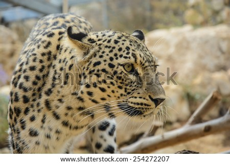 Beautiful Leopard closeup, looking angry - stock photo