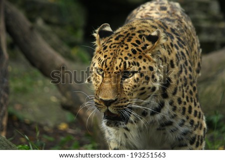 Beautiful leopard in the jungles - stock photo
