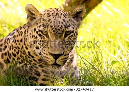 Beautiful leopard in the yellow lion grass - stock photo