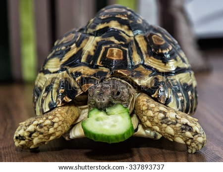 Beautiful Leopard tortoise (Geochelone pardalis) is feeding. Animal scene. Animal in captivity. - stock photo