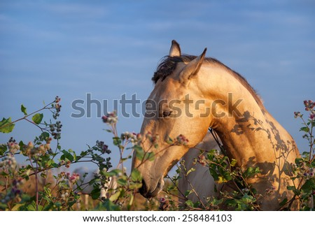 Beautiful light horse in a field eating grass, grazing. The mare is in the colors against the blue sky in the morning. Portrait of a horse's head - stock photo