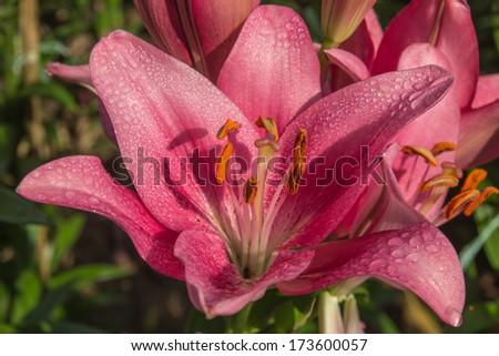 beautiful Lily flower - stock photo