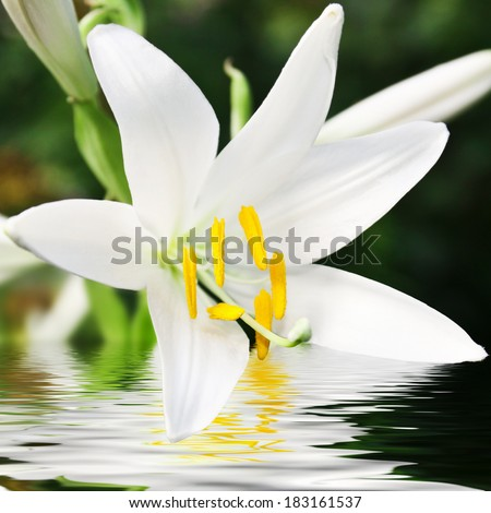 beautiful lily flower with reflection in water  - stock photo