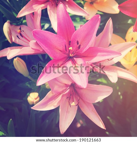Beautiful Lily flowers with instagram effect - stock photo