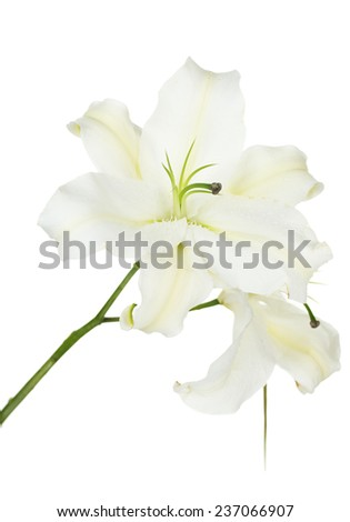 Beautiful lily isolated on white - stock photo