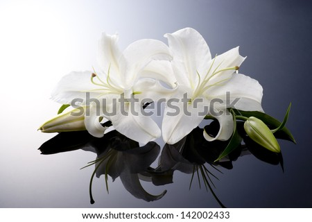 beautiful lily on black background - stock photo