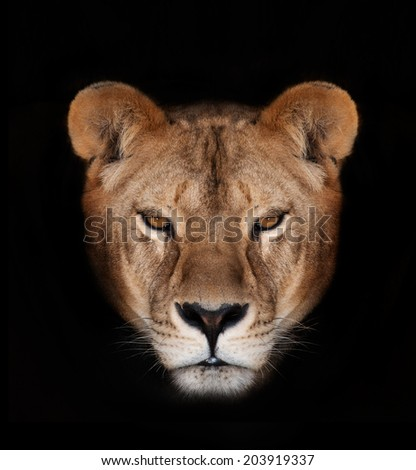 Beautiful lioness on a black background. - stock photo