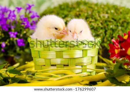 Beautiful little chickens - stock photo