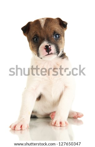 Beautiful little puppy isolated on white - stock photo