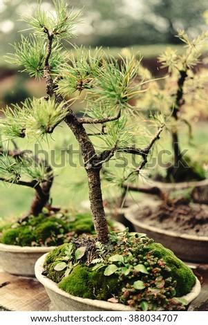 beautiful little trees bonsai variety on the yard, market and garden - stock photo