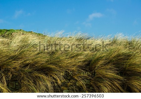 Beautiful Long Summertime Pampas Grasses Sway Behind a Dry Stone Wall with Blue Sky and a Few Wispy White Clouds on a Warm Summer Day in Cornwall, England, Britain, UK, Europe.   - stock photo