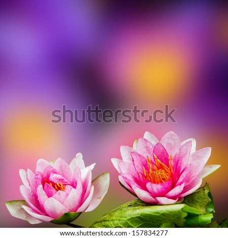 Beautiful lotus. - stock photo