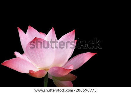 beautiful lotus blooming on back background  - stock photo