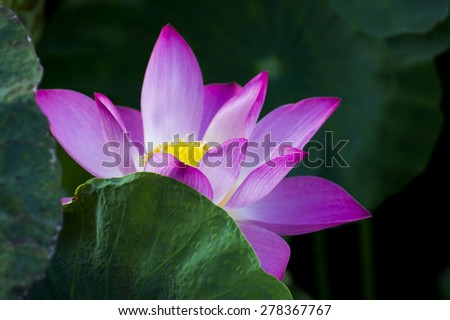 beautiful lotus flower in blooming Behind leaves - stock photo