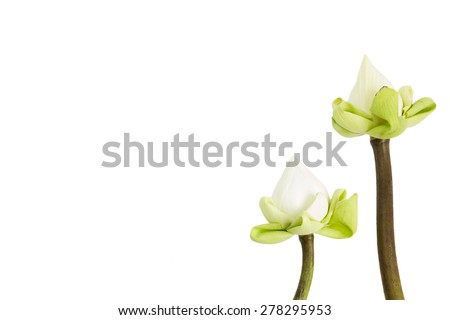 Beautiful Lotus isolate on  white background with clipping path  - stock photo