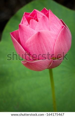 Beautiful lotus Single lotus flower  - stock photo