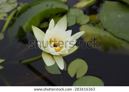 Beautiful lotus, White Lotus flower and Lotus flower plants. - stock photo