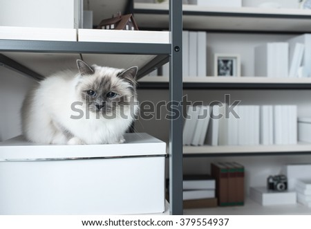 Beautiful lovely cat exploring shelves at home,  sitting on a shelf and looking around - stock photo