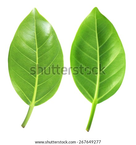 Beautiful lush green leaf Isolated on white background, Green leaf - stock photo