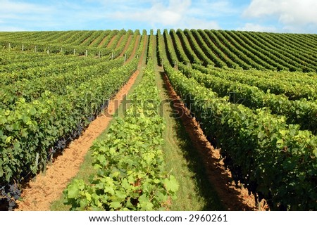 Beautiful lush, green vineyard rising into a perfect blue sky... - stock photo