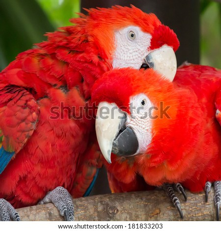 beautiful macaw parrots - stock photo