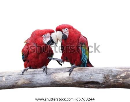 beautiful macaw parrots isolate don white background - stock photo