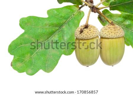 Beautiful macro photo of acorn, isolated on white background - stock photo