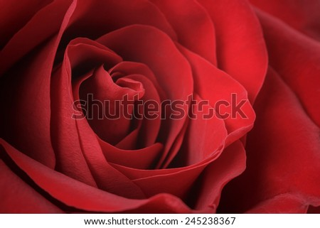 beautiful macro photo of red rose, closeup shot - stock photo
