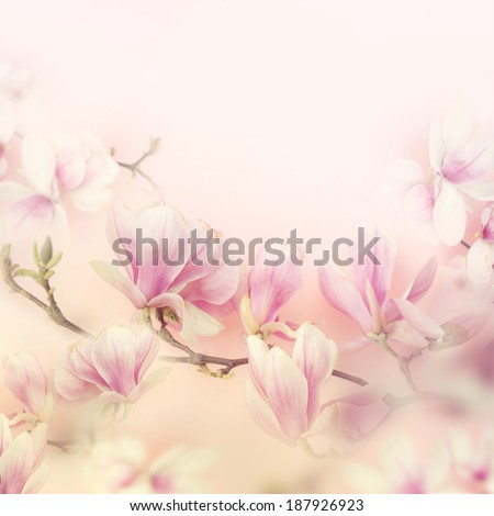 Beautiful magnolia. - stock photo