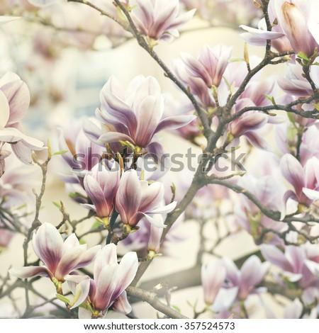 Beautiful magnolia flower  - stock photo