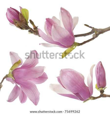 beautiful magnolia isolated on white background - stock photo