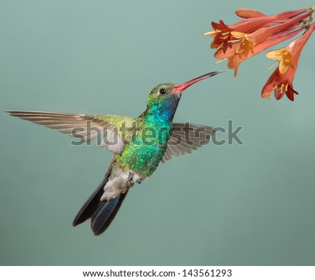 Beautiful Male Broad-billed Hummingbird feeding at flower - stock photo