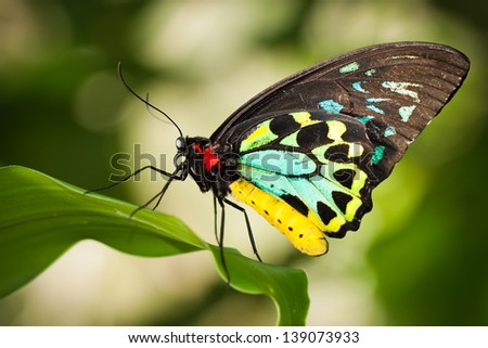 Beautiful male Cairns birdwing butterfly  (Ornithoptera euphorion) on a leaf - stock photo
