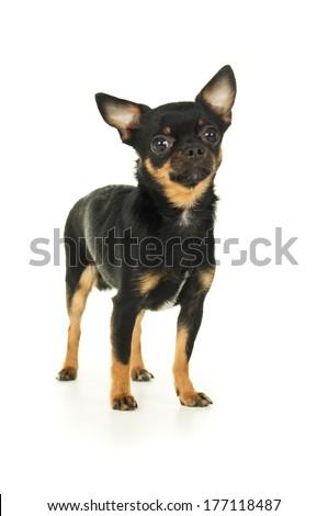 Beautiful male chihuahua dog - stock photo