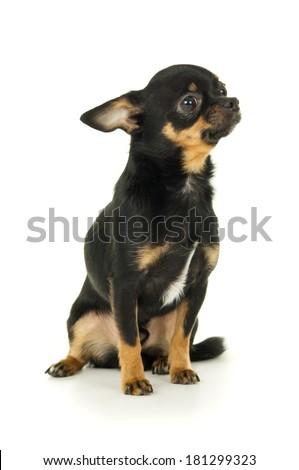 Beautiful male chihuahua dog sitting - stock photo