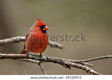 Beautiful male Northern Cardinal sitting on bare limb - stock photo