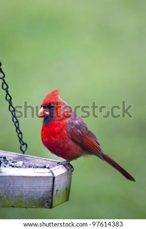 Beautiful Male Northern Cardinal sitting on bird feeder - stock photo