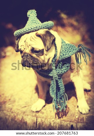 Beautiful male pug puppy dog sitting on a tree log in the sunshine with a blue scarf and a gnome hat. Autumn dog fashion, fall weather - stock photo