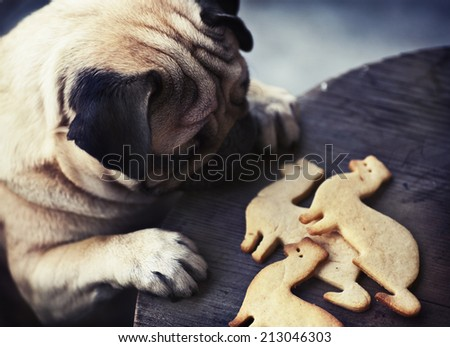 Beautiful male Pug puppy truing to get cookies in shape of a ferret on a wooden table background - stock photo