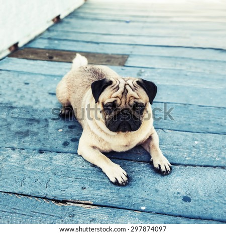 Beautiful male Pug puppy with a sad face very serious siting in front of the light blue wooden floor background - stock photo