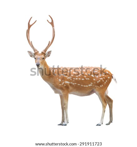 beautiful male sika deer isolated on white background - stock photo