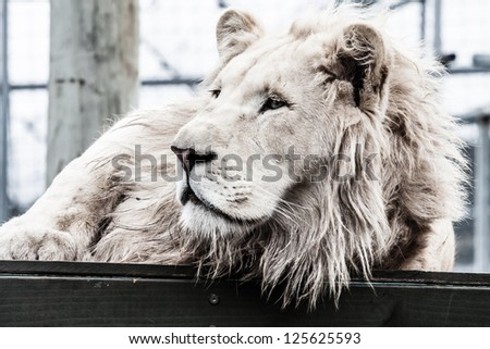beautiful male white lion lying - stock photo