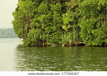 Beautiful mangrove lush thicket in Sri Lanka - stock photo
