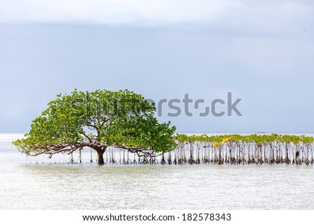 Beautiful mangrove tree growing on the seashore standing submerged in the sea water with its lush green canopy of spreading branches and leaves under a cloudy blue sky - stock photo