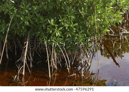 Beautiful mangroves in shallow water - stock photo