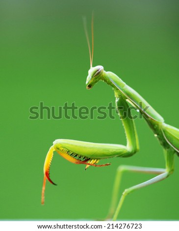 beautiful mantis on natural green background. - stock photo
